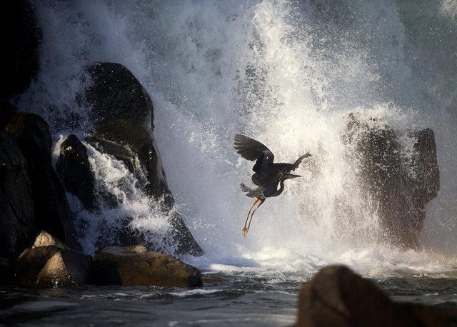 WF w blue heron